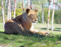 Free Lion Laying In Grass Royalty Free Stock Images - 7714429