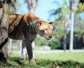 Free Lion Royalty Free Stock Photos - 7714438