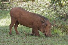 Free Feeding Warthog Stock Image - 7710611