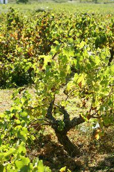 Free Vineyard, Grape Fields In Mediterranean Spain Royalty Free Stock Images - 7711559