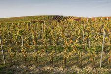 Free Vineyard In Autumn Stock Photography - 7712002