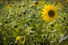 Free Sunflower Stock Photo - 7712120