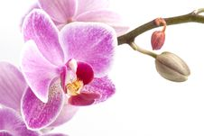 Free Pink Orchid Stock Image - 7712121