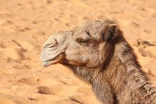 Free Camel Royalty Free Stock Photo - 7712595