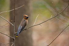 Free Cedar Waxwing (Bombycilla Cedorum Cedorum) Royalty Free Stock Photo - 7712915
