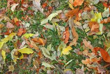 Free Autumn Leaves On Green Grass Royalty Free Stock Image - 7712976