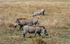 Free Warthogs Royalty Free Stock Photography - 7713357