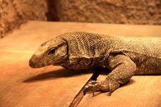 Free Lizard Stock Photos - 7714003