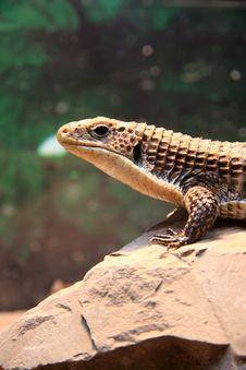 Free Lizard Royalty Free Stock Photos - 7714058