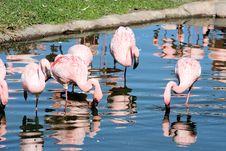 Free Flamingos Stock Image - 7714151