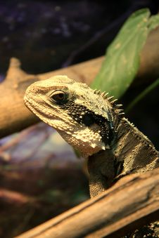 Free Lizard Royalty Free Stock Photography - 7714167