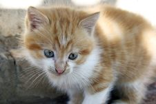 Free White And Red Kitten Royalty Free Stock Image - 7714256