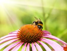 Free Bumblebee On A Flower Royalty Free Stock Images - 7714389