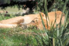 Free Lion Laying In Grass Stock Photo - 7714410
