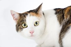 Spotted Cat, Isolated Royalty Free Stock Photo