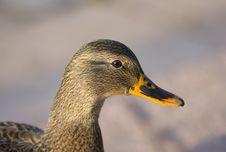 Free Duck Portrait Stock Image - 7714881
