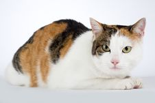 Spotted Cat, Isolated Stock Photography