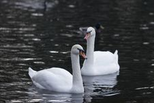 Free Swans Pair In Cold Water Stock Photos - 7715003