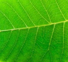 Free Macro Green Leaf Royalty Free Stock Image - 7715386