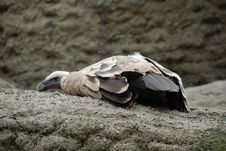 Free Vulture Stock Photo - 7715560