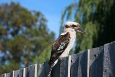 Free Kookaburra Stock Photos - 7715713