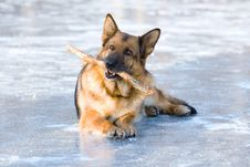 Free German Shepherd Royalty Free Stock Photography - 7715987