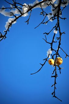 Apple With Snow Royalty Free Stock Photography