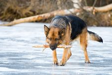 Free German Shepherd Stock Photos - 7716233