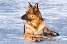 Free German Shepherd Stock Images - 7716384