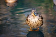Free Duck Standing On Water Stock Image - 7717051
