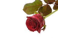Free Isolated Single Rose Stock Image - 7718101