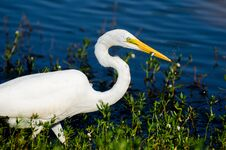 Free Great Egret Fishing Royalty Free Stock Photos - 77153718