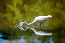 Free Egret Spearing Fish Stock Photography - 77156052