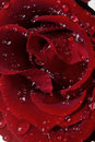 Free Macro Image Of Dark Red Rose With Water Drops Royalty Free Stock Photography - 7721137