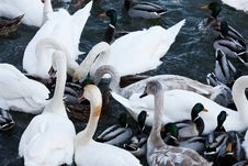 Free Swans Stock Images - 7720524
