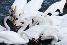 Free Swans Stock Photos - 7720573