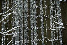 Free Winter Pines Stock Photos - 7720673