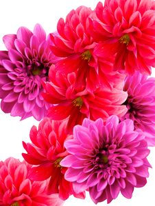 Flowers Dahlias Stock Image