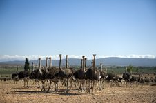 Ostrich Of South Africa Stock Image