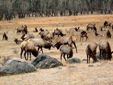 Free Elk Herd Royalty Free Stock Photos - 7726958