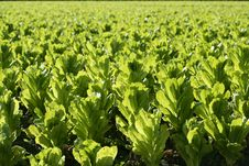 Green Lettuce Country In Spain Royalty Free Stock Photography