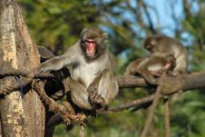 Free A Monkey In A Zoo. Behind Other Monkeys Are Playin Royalty Free Stock Photos - 7727178