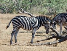 Free African Wildlife: Burchell S Zebra Royalty Free Stock Images - 7727409