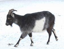 Free Goat Stock Photos - 7727873