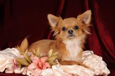 Free Chihuahua Portrait Royalty Free Stock Image - 7728396