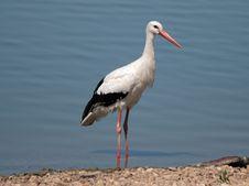 Free White Heron Royalty Free Stock Photo - 7728565