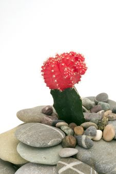 Free Cactus On Pebbles Stock Image - 7729421