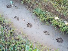 Traces Of Large Dog Imprinted In Mud Royalty Free Stock Image