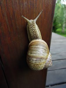 Free Land Snail Crawling Up Wooden Royalty Free Stock Image - 77238306