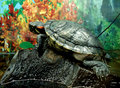 Free Terrapin On Stone Stock Image - 7730891